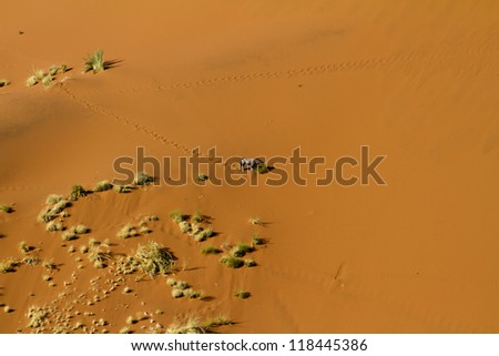 Oryx goes down the Sossusvlei dunes to eat some plants