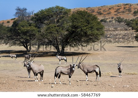 Oryx in the Kgalagadi Transfrontier National Park in South Africa and Botswana - stock photo