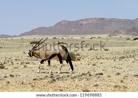 Oryx walks through the steppe of Namibia