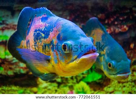 Shutterstock Oscar fish (Astronotus ocellatus) swimming underwater