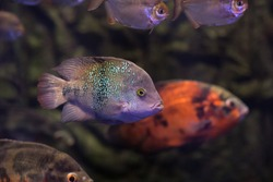 Oscar Fishes in dark aquarium water. South America Amazon river fish Astronotus ocellatus