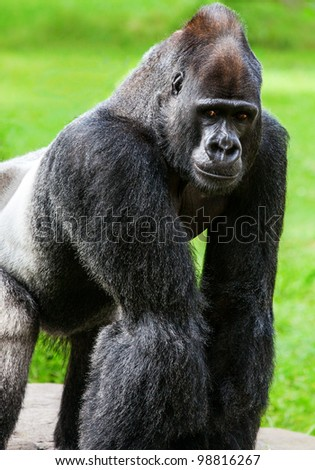 Oscar Jonesy, Silverback Western Lowland Gorilla at San Francisco Zoo. Born 1981 at Columbus Zoo, parents Oscar and Jonesy.  Moved to SF Zoo, 1982, then to Buffalo Zoo 1987, returned to SF Zoo 2005.