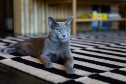 Oscar kitten of Russian blue breed is resting in the living room. A beautiful blue-gray kitten with green eyes. Cat and relax. Cat in the armchair. Grey cat, light background. Wood house.