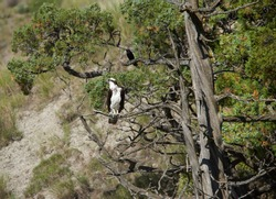 Osprey and a Blackbird sharing a tree in Yellowstone national park
