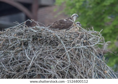 Osprey and Juvenile in large nest