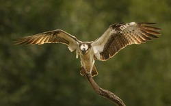 Osprey bird balancing on a small wooden stick with his wings spread in front of green background