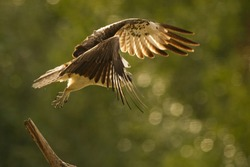 Osprey bird flying away from a wooden branch with beautiful green background
