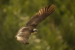 Osprey bird in flight with wings spread in front of green bokeh background