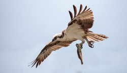 Osprey bird of prey Pandion haliaetus flying across a blue sky with a fish over Clam pass in Naples, Florida in the morning.