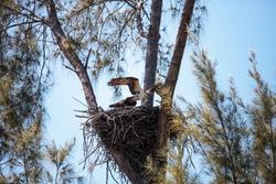 Osprey bird Pandion haliaetus builds its nest high above a marsh on Sanibel Island, Florida