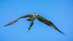 Osprey catching a fish that still has a lure and fishing line snagged on its mouth