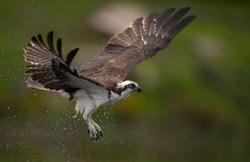 Osprey fishing in Maine