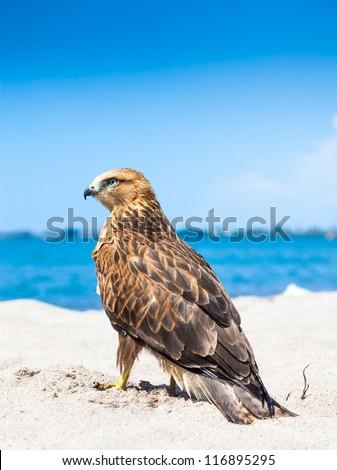 Osprey Fling Over White Sand Beach - stock photo