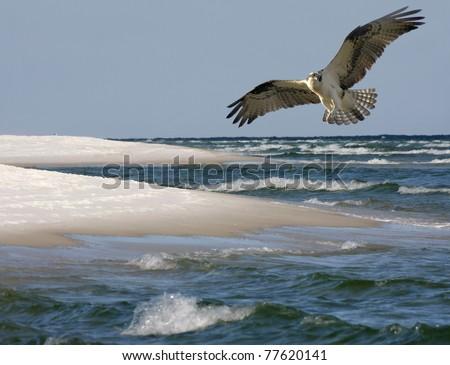 Osprey Fling Over White Sand Beach