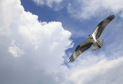 Osprey Flying Among the Clouds