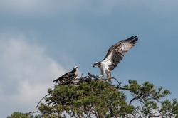 Osprey flying and family