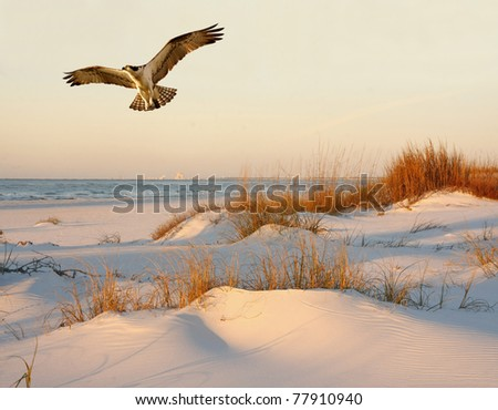 Osprey Flying over the Sand Dunes at Sunrise