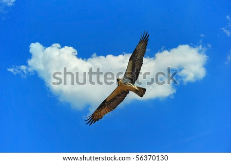 Osprey flying with cloud in background