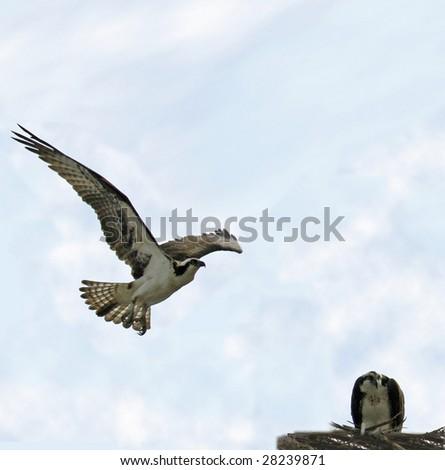 Osprey in flight heading to female in nest (Pandion haliaetus)