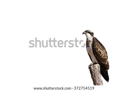 Osprey isolated on white background\nWestern Osprey Pandion haliaetus