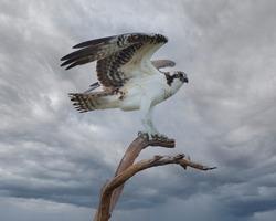 Osprey just landed on a perch, gray sky