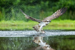 Osprey just manages take off with a substantial rainbow trout firmly grasped in his huge talons
