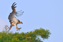 osprey landing in florida cypress tree with early morning light, talons extended