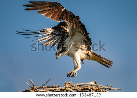 Osprey landing on a nest over a prairie lake, Alberta Canada
