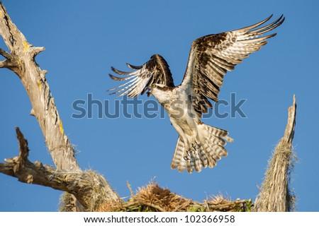osprey landing on cypress tree branch
