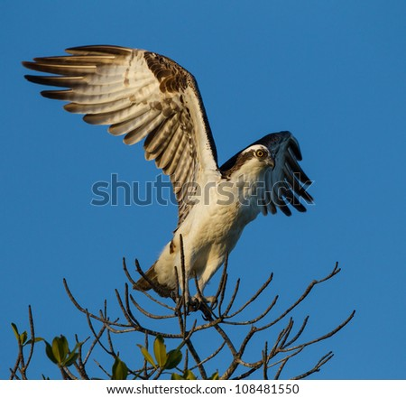 Osprey launches from branch