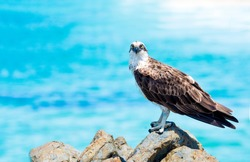 Osprey looking at camera against blue background.