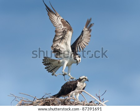 Osprey male with building material landing  on nest, where female waiting for him.  Latin name - Pandion haliaetus.