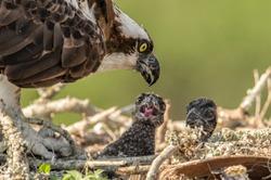 Osprey Nest in Central Florida