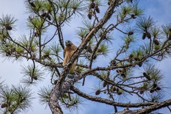 Osprey on top of a pine tree in Sarasota, FL