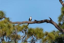 osprey Pandion haliaetus bird of prey in a pine tree in Naples, Florida.