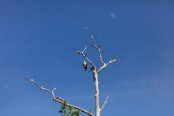 Osprey (Pandion haliaetus) perching on an old tree and in the background the moon, Honeymoon Island, Florida, USA