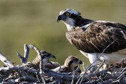 Osprey, Pandion haliaetus, single adult on nest with young, Finland, July 2012