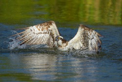 Osprey (Pandion haliaetus), starts after hunt from the lake water, in Tampere, Western Finland, Finland