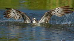 Osprey (Pandion haliaetus), starts after hunt from the lake water, Tampere, Western Finland, Finland