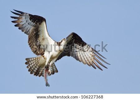 Osprey (Pandion haliaetus).  The Osprey, sometimes known as the sea hawk, fish eagle or fish hawk, is a diurnal, fish-eating bird of prey.