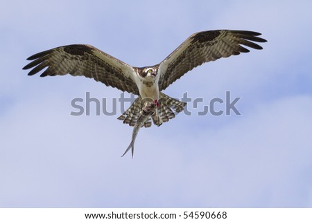 Osprey (Pandion haliaetus) with the caught fish.