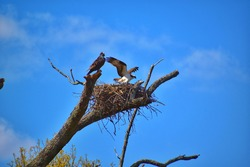 Osprey ready for flight from nest.