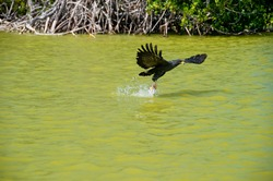 Osprey rising from a lake after catching a fish; Yucatan Biosphere Nature Reserve, Mexico.