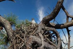 Osprey sitting in her nest
