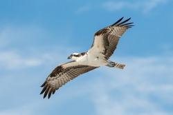 Osprey soaring across sunny beach