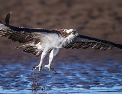 Osprey taken off and flying in search for fisch