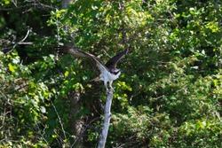 Osprey taking flight from a dead tree.