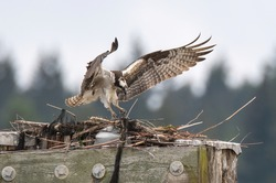 Osprey waved wings back to the nest