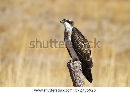 Osprey\nWestern Osprey / Pandion haliaetus