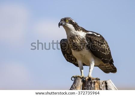 Osprey \nWestern Osprey / Pandion haliaetus